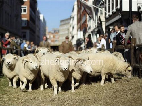苏格兰羊毛